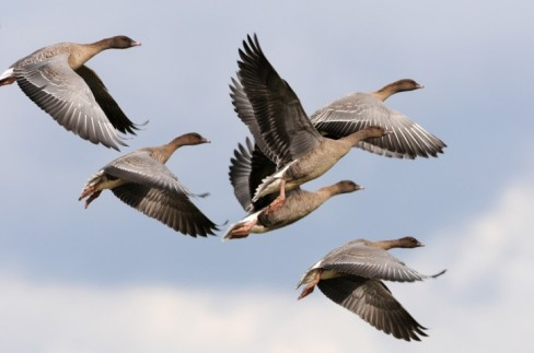 pink-footed-geese