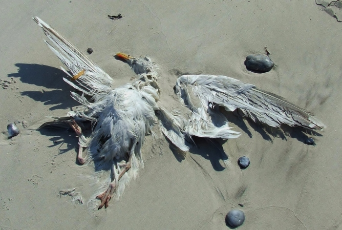 Düne_dead_gull_on_seashore